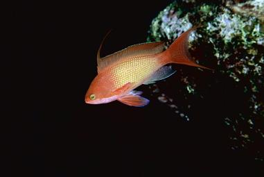 Anthias_squamipinnis,_001,_001.jpg